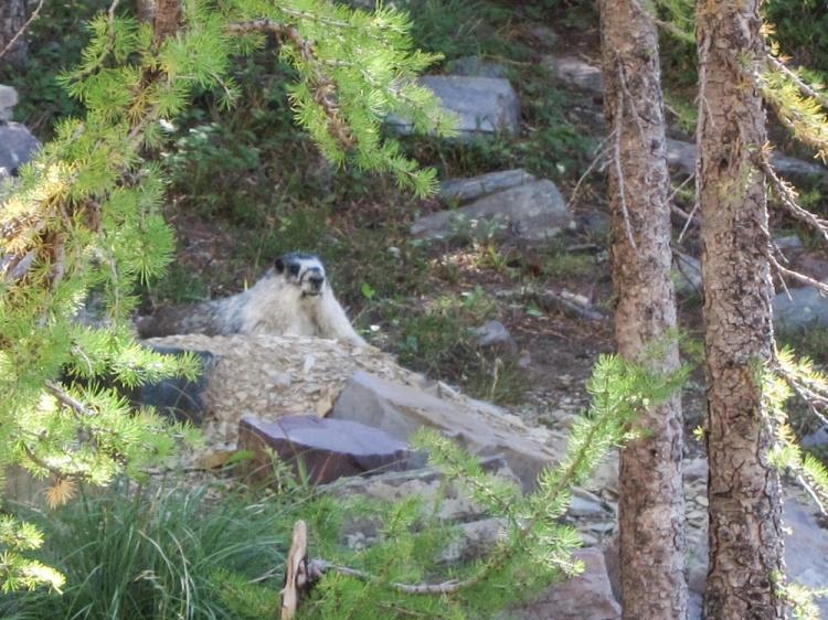 Marmot at rest