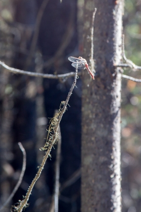 Dragonfly on Hidden Meadow Trail