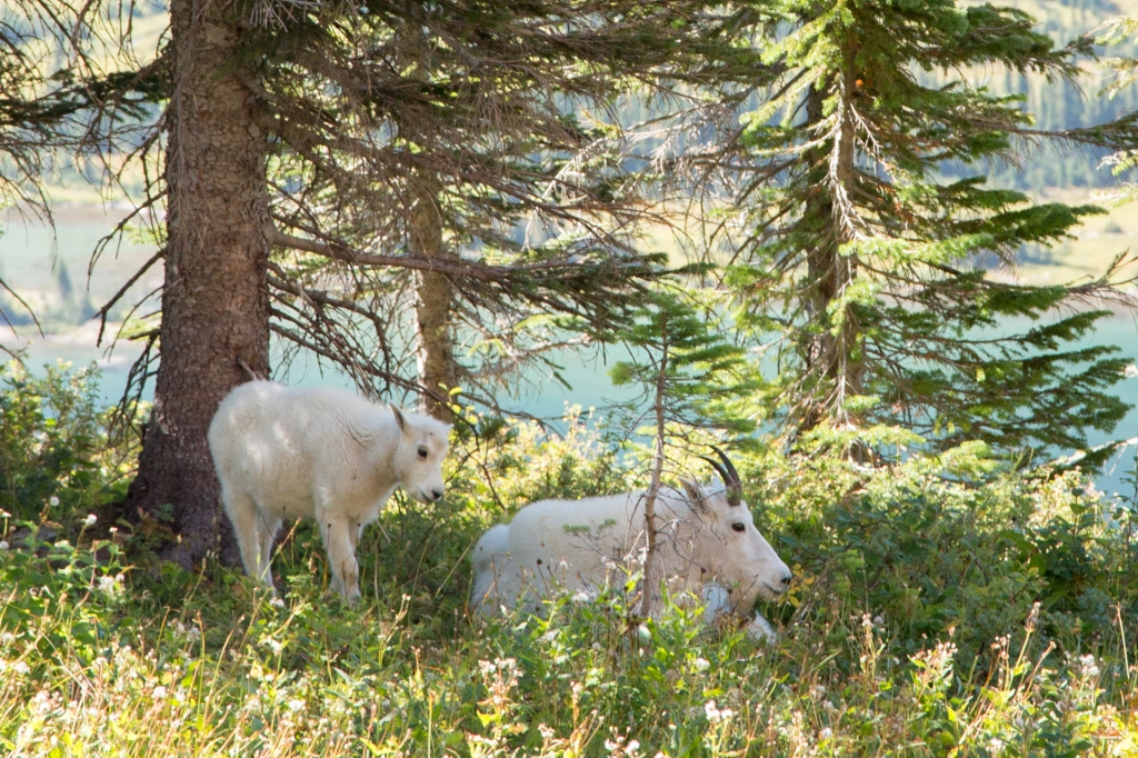 Mother and baby mountain goats