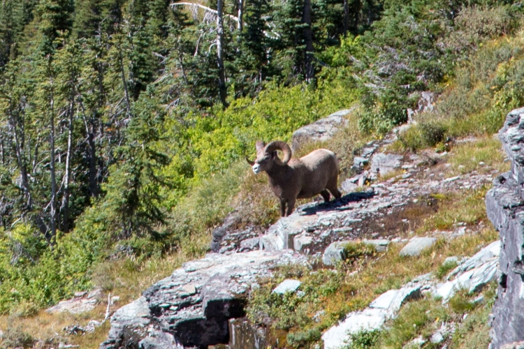 Bighorn Sheep near Hidden Lake