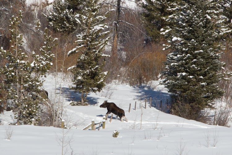 Young moose hopping over a fence in the snow