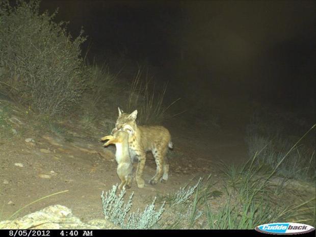 Bobcat carrying a rabbit dinner