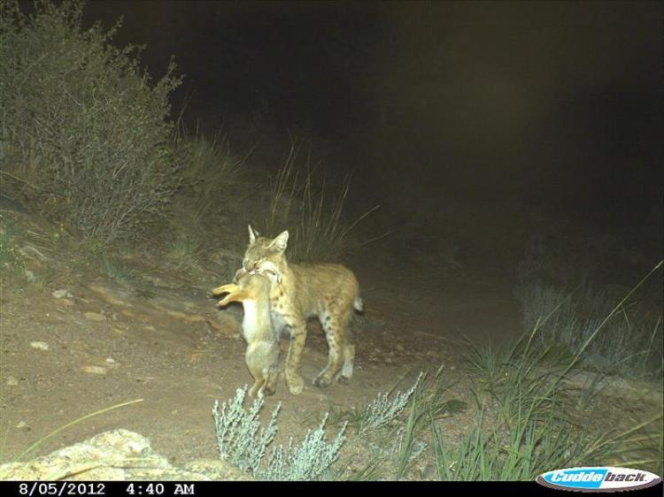 Bobcat carrying a rabbit dinner