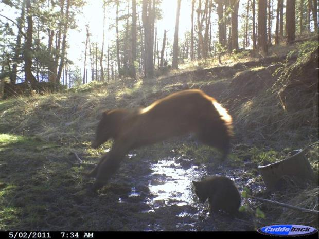 Bear jumping over cub at water source