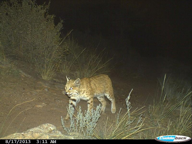 Bobcat on the prowl at night