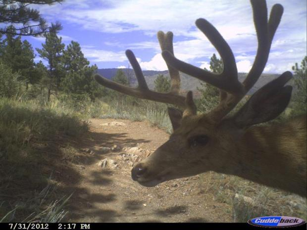 Buck posing