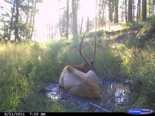 Elk taking a bath