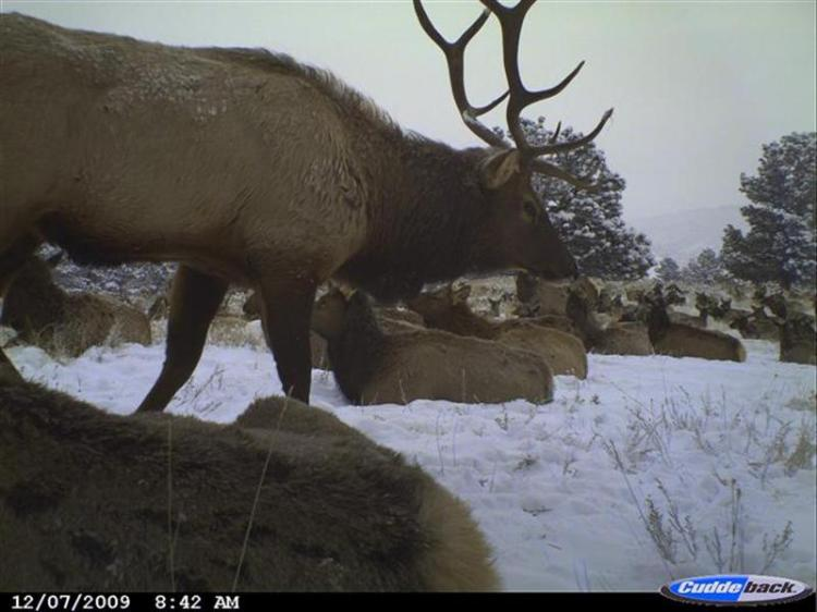 Herd of elk in snow