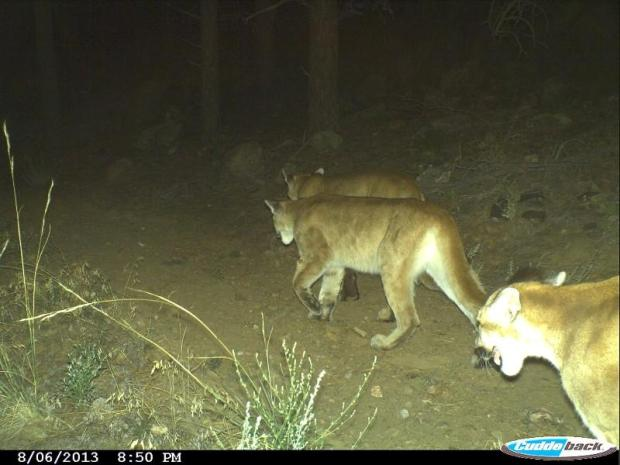 Group of mountain lions