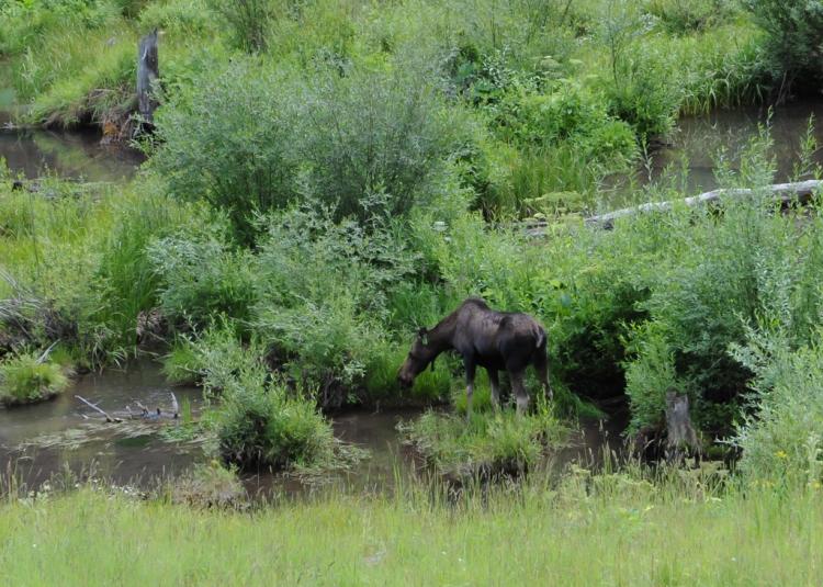 Moose browsing in the water