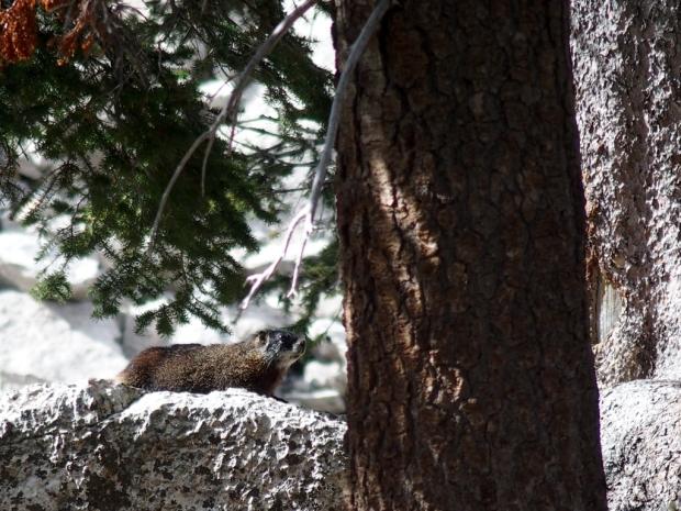 Marmot at Marion Lake