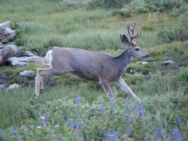 Deer bounding away