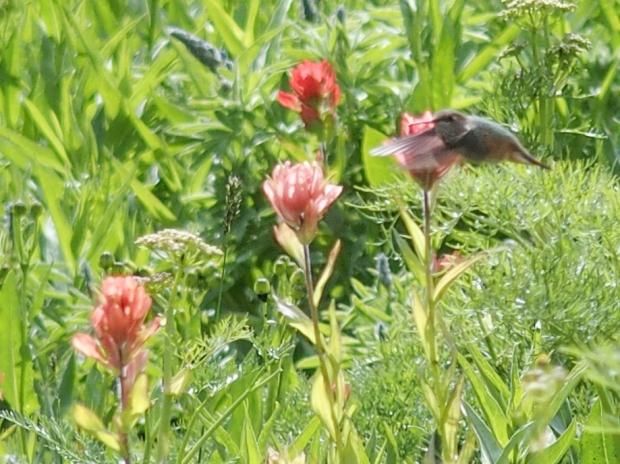 Hummingbird eating paintbrush nectar