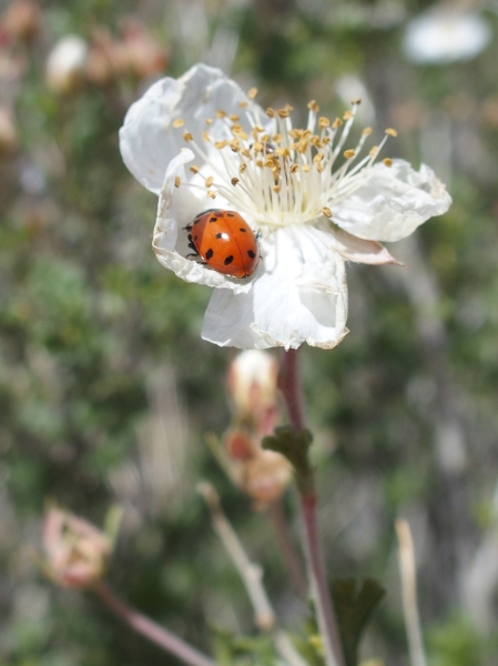 Ladybug on Apache Plume