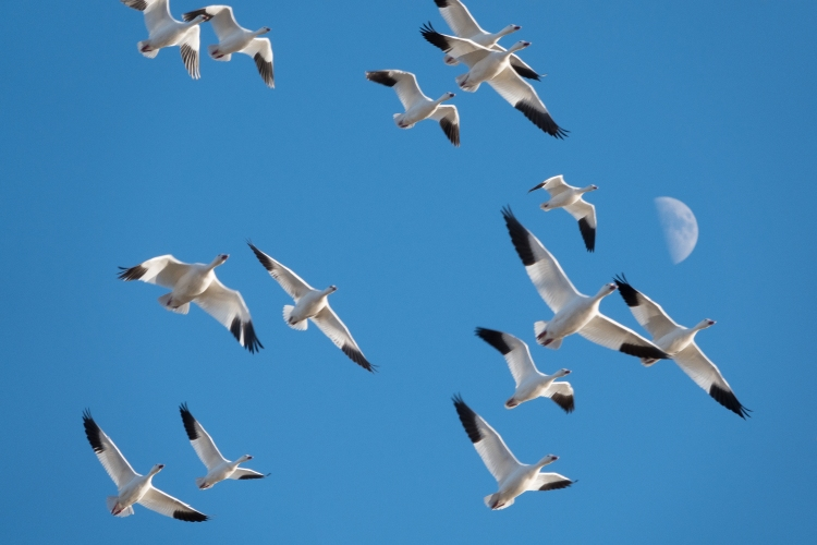Snow geese migrate from northern Canada