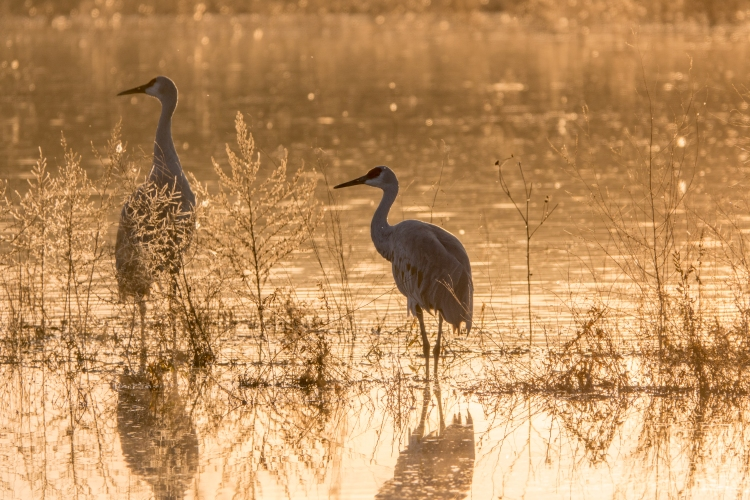 Sandhill cranes like to roost in shallow water for protection from predators