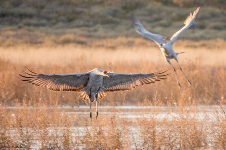 Sandhill cranes have an impressive 6 foot wingspan